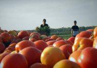 کاشت گوجه فرنگی با روش آسان