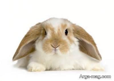حرام بودن گوشت خرگوش