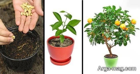 نحوه کاشت درخت لیمو ترش در منزل