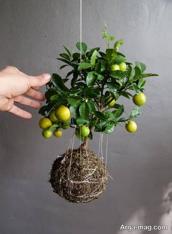 چگونه لیمو ترش بکاریم