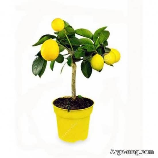 کاشت درخت زیبای لیمو ترش