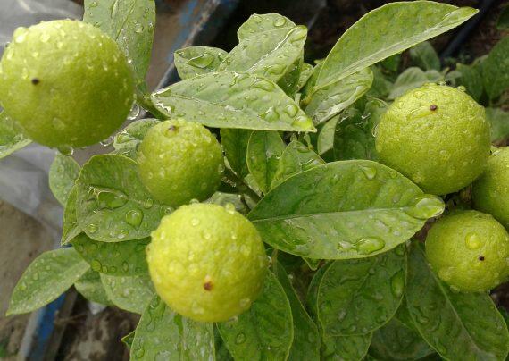 روش آسان کاشت درخت لیمو ترش