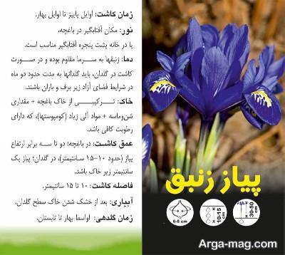 اموزش کاشت گل زنبق