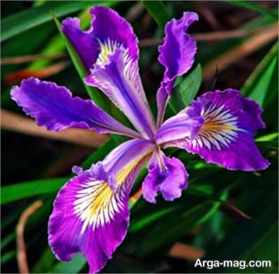 گل زنبق بنفش