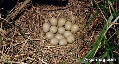 تخم گذاری کبک