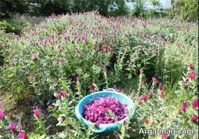 نحوه پرورش گل گاوزبان