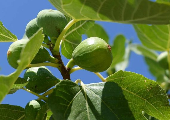 کاشت درخت انجیر