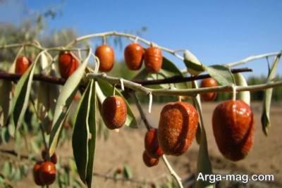 کاشت و نگهداری از درخت سنجد