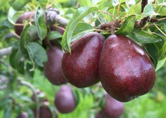 روش مناسب کاشت درخت گلابی