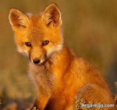 درباره دیدن روباه در خواب چه می دانید