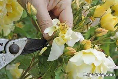 پرورش گل رز بالا رونده