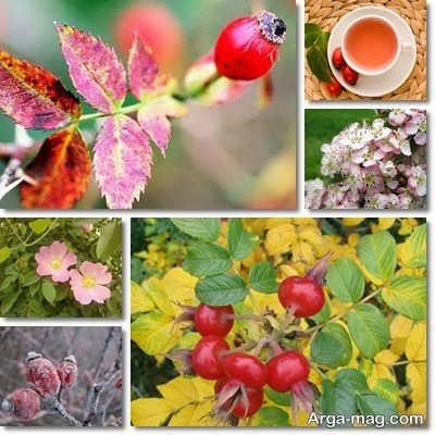 مزیت های درمانی میوه گل نسترن