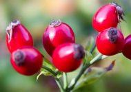 خواص درمانی میوه گل نسترن