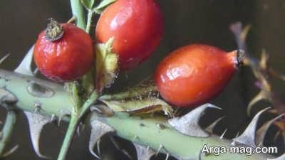 درمان سنگ کلیه با میوه گل نسترن