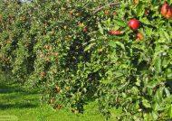 کاشت درخت سیب و نگهداری