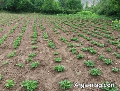 کاشتن بادام زمینی
