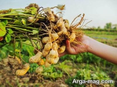 کاشت بادام زمینی در منزل