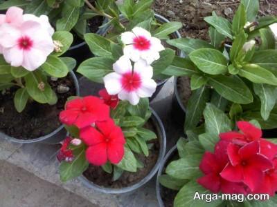 انواع رنگ های گل پریوش