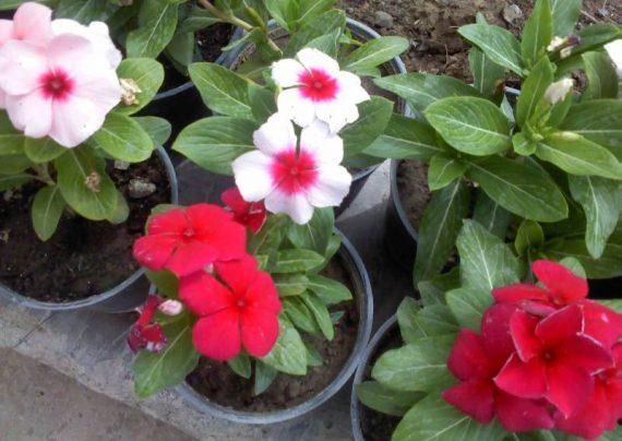 بهترین روش کاشت گل پریوش و نگه داری و پرورش آن