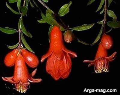 چگونگی تشکیل میوه بعد از کاشت درخت انار