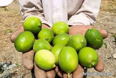 کاشتن درخت لیمو ترش