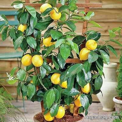 پرورش لیمو ترش