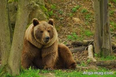 آشنایی با خرس گریزلی و گونه های دیگر خرس