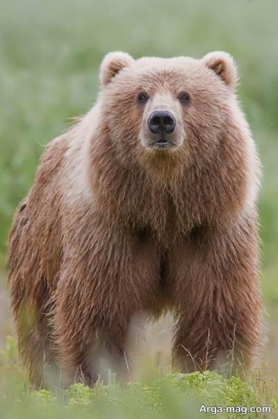 آشناییبا خرس کودیاک هیولای واقعی