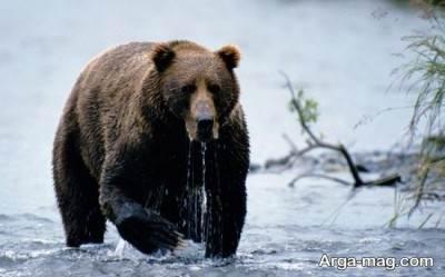 آشنایی با خرس قهوه ای قدرتمند ترین شکارچی