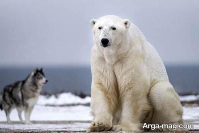 آشنایی با خرس قطبی بزرگترین خرس جهان