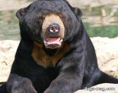 اشنایی با خرس افتاب یا خرس خورشید