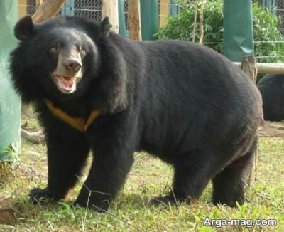 اآشنایی با گونه خرس سیاه آسیایی