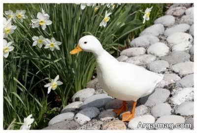 تعبیر دیدن اردک سفید در خواب