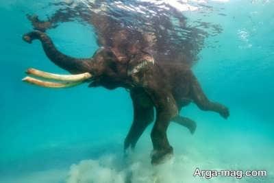 حیوان فیل