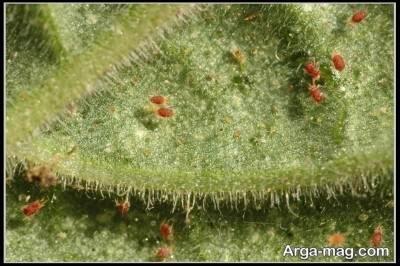 از اصلی ترین افات زیپلین کنه تار عنکبوتب است