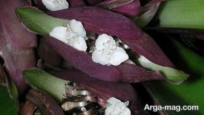 نحوه گل دادن گیاه زیپلین