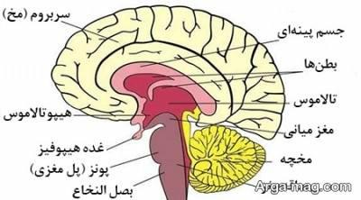 محل قرار گرفتن هیپوتالاموس در مغز انسان