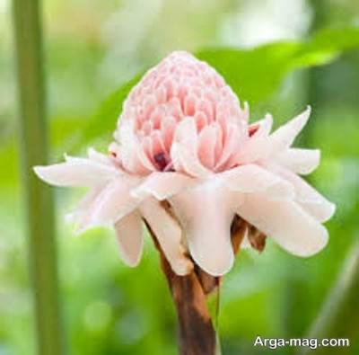 گونه های مختلف گل زنجبیلی و نگه داری از ان