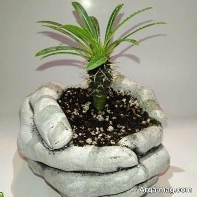 نحوه نگه داری و پرورش گیاه نخل ماداگاسکار