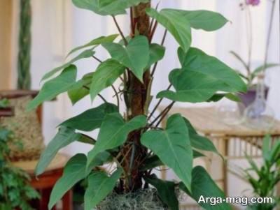 انواع گیاه ها فیلودندرون ها و شرایط نگه داری از آنهادر منزل