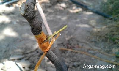 قلمه زدن درخت پسته
