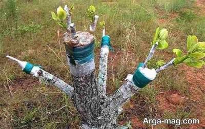 پیوند زدن درخت پسته