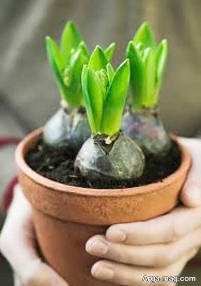 چگونگی کاشت پیاز گل سنبل در خاک