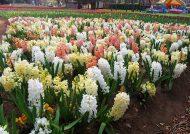 کاشت گل سنبل در منزل به شیوه های گوناگون