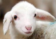 واکنش گوسفندها