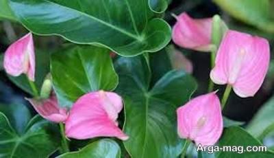 گل فلامینگو