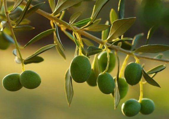 طریقه پرورش درخت زیتون تلخ