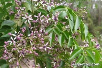 شگوفه های درخت زیتون تلخ