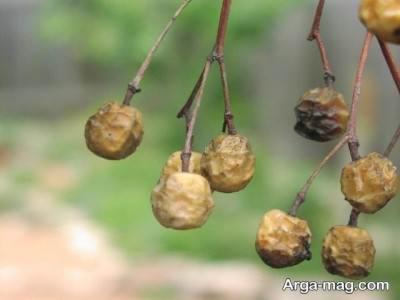 چگونگی پرورش درخت زیتون تلخ