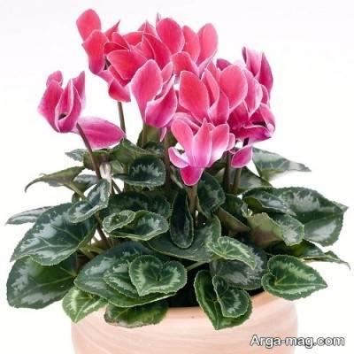نیاز های گل زیبای سیکلمن